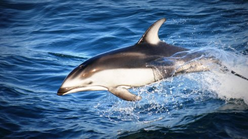 Pacific White-sided Dolphin (Lagenorhynchus obliquidens) leaping off of the starboard side of the R/V Western Flyer. I shot this in 2006.