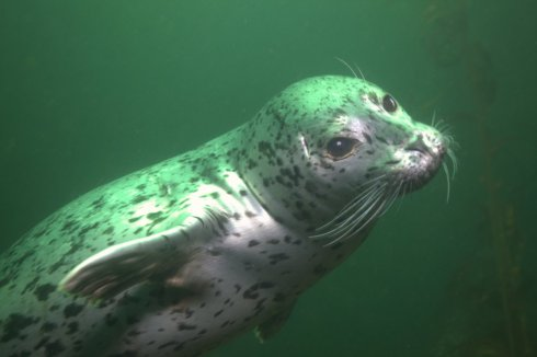 Curious harbor seals tend to come over and check us out while diving. They do occasionally request a scratch under the chin, but generally just nibble on our fins and dive slates. Like underwater puppies.