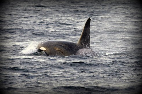 A killer whale (Orcnius orca) moving south along the Big Sur coast of California.